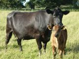 Picture - Pedigree Aberdeen Angus